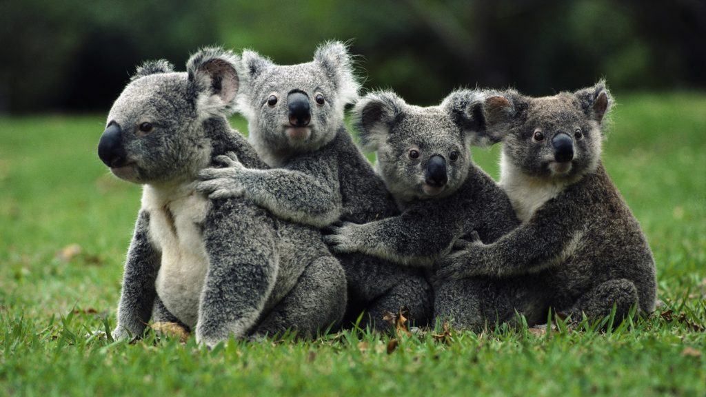 happy-koala-wallpaper-1